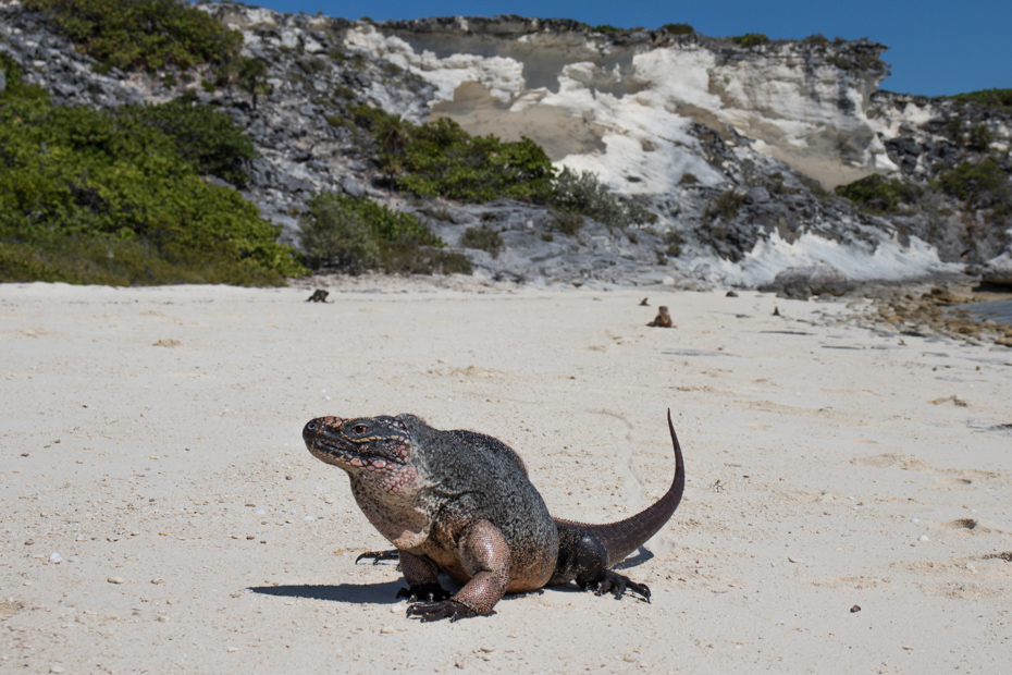 A northern Bahamian rock iguana waits in the warm sand. Bitter Guana Cay can be visited on a Bahamas day trip by plane with Bahamas Air Tours.