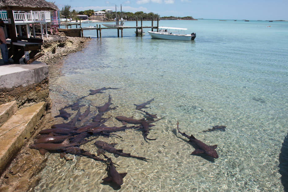 Swim with reef sharks at Compass Cay. Day trips from Nassau to Exuma Cays for a Bahamas day trip.