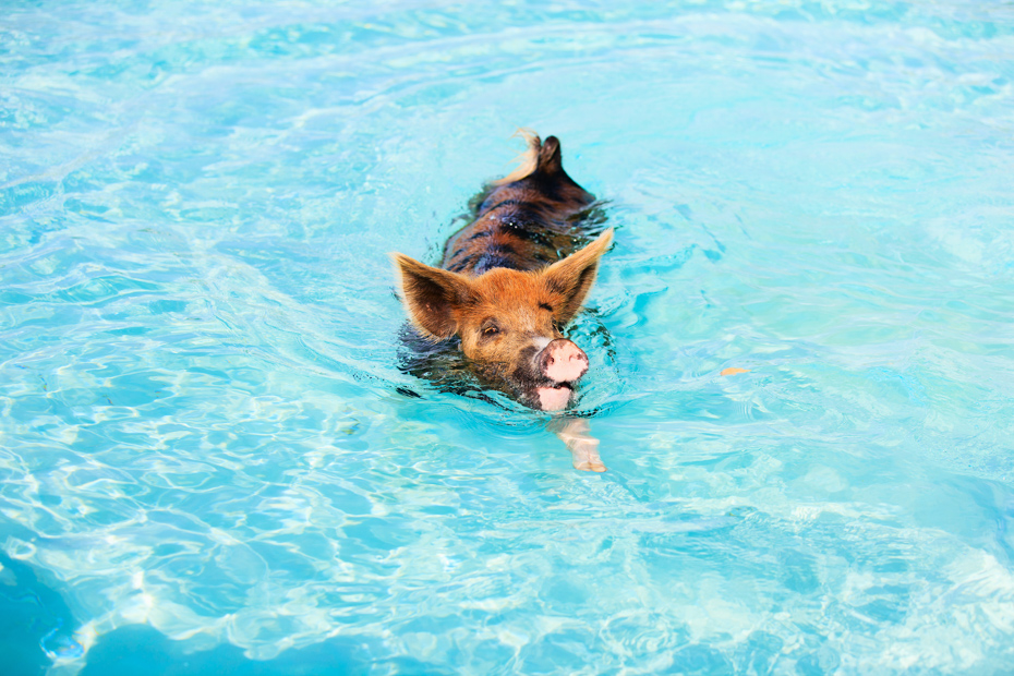 Swim, pig! Swim! Big Major Cay of the Bahamas. Traveling from Fort Lauderdale to Bahamas swimming pigs will take you one hour with Bahamas Air Tours.