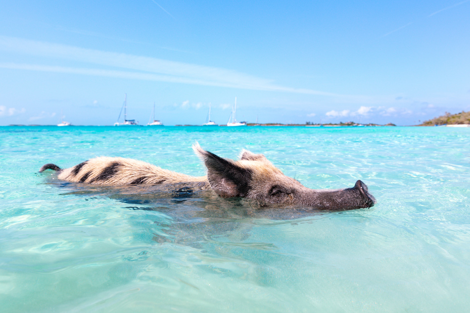 Which Pig Beach Excursion from Nassau is Best for You?