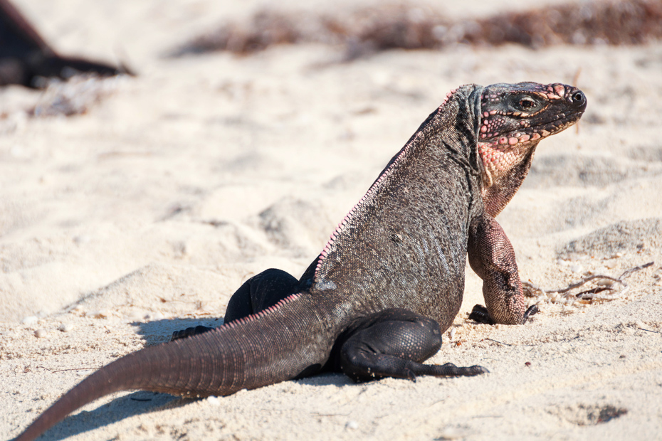 Northern Bahamian Rock Iguana at Bitter Guana Cay. See an endangered species on trips to Bahamas from Fort Lauderdale via flights to Bahamas.