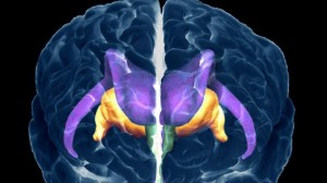 En el cerebro humano, las neuronas correspondientes a la regulación de la sed se encuentran arriba del hipotálamo (indicado en color verde).
