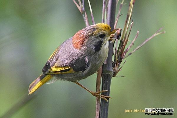 金額雀鹛的外形特征、地理分布、生活習性、保護現狀_鳥類_百問中文