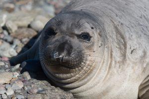Elephant Seal @ Mark Scilly