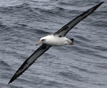 Layson albatross @ Lehman