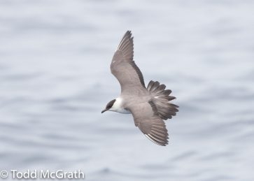 Long-tailed jaeger @ McGrath