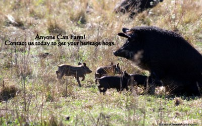 Fall pigs: why now is the time to get your hog!