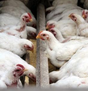 beyond organic, free range, pasture raised GMO free chickens