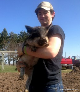 Heritage breed Mangalitsa weaner and feeder pig