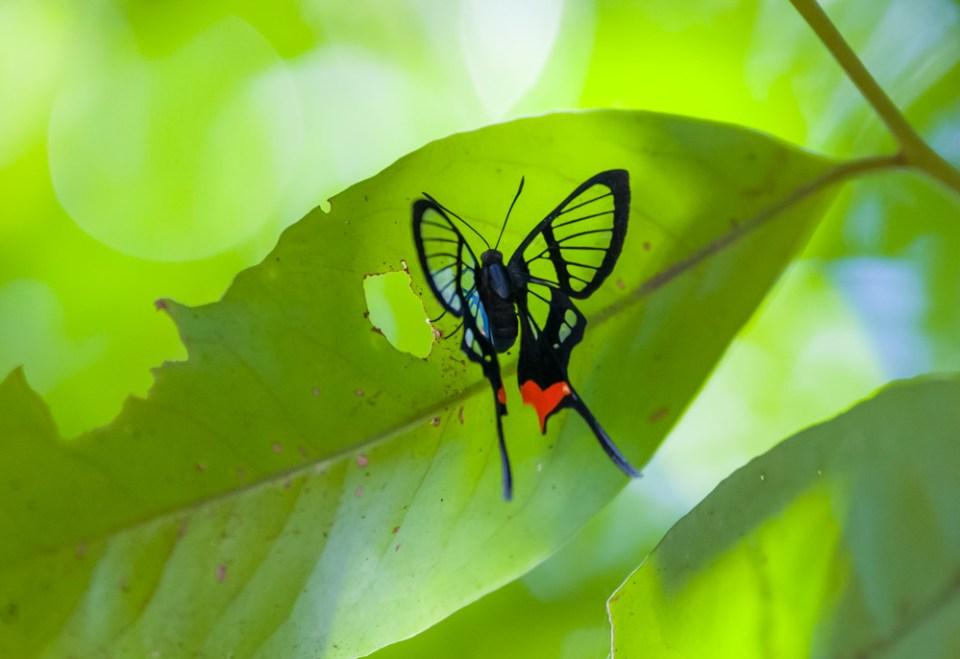 Papillon translucide