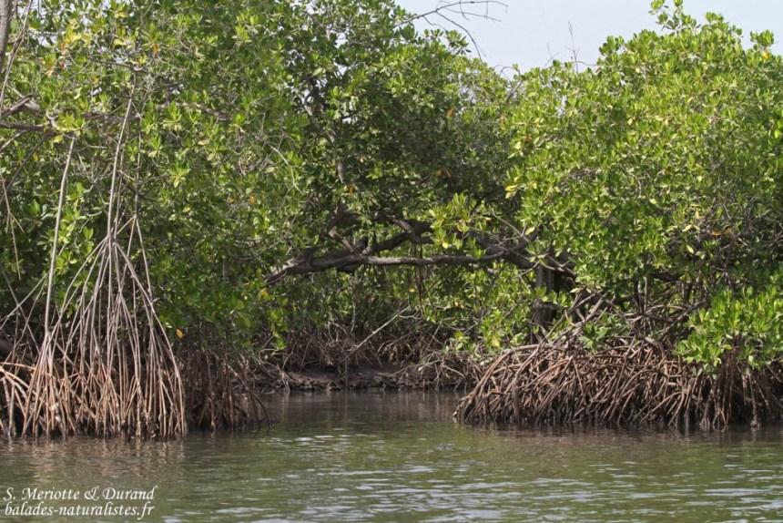 Mangroves du Sine Saloum