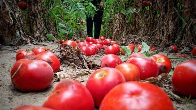 صورة مزارعو غزة يتوقفون عن التصدير بسبب شروط الاحتلال التعجيزية