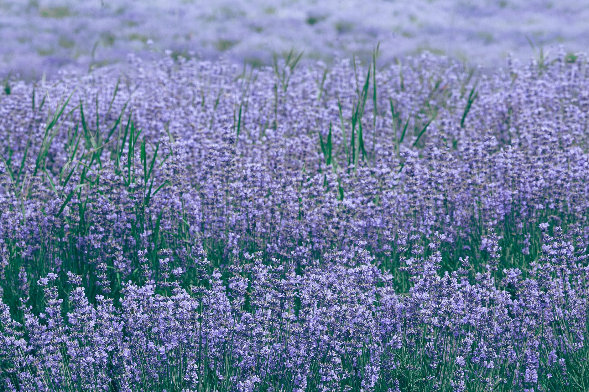 lavender field with blooming violet flowers