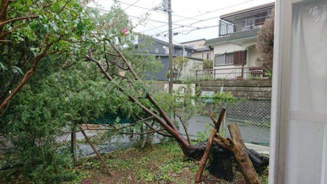 台風15号ミモザ倒木2