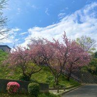 いつもより早い八重桜