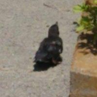 カラスの幼鳥