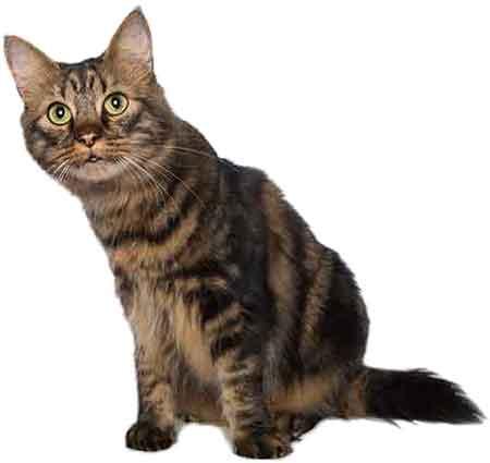 cat-adult450
