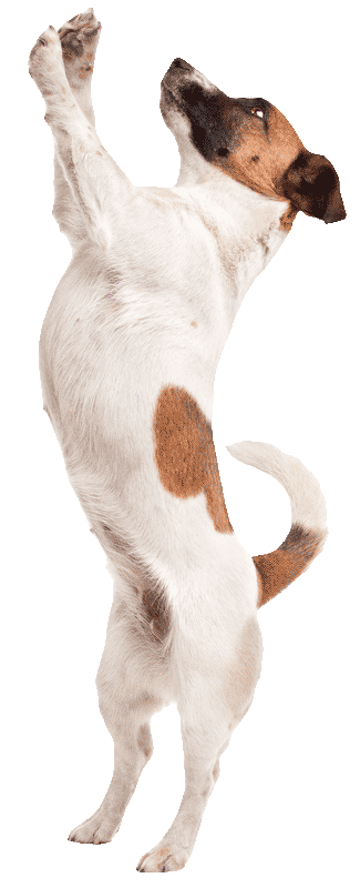 jack-russel-jump325png