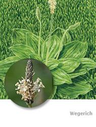 Wegerich bekmpfen  vorbeugen  das hilft den Pflanzen