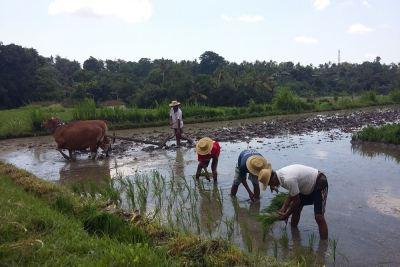 Bali Ubud Rice Paddy Trekking - Gallery 1020181