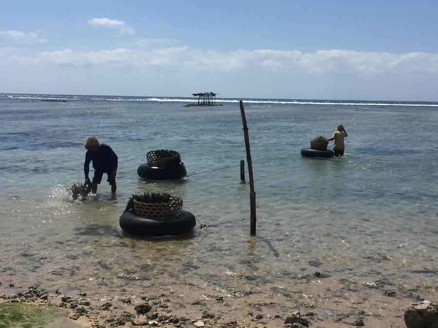 Nusa Penida coltivazione alghe
