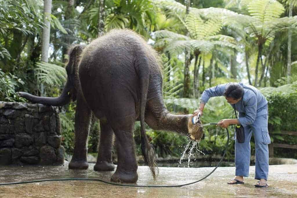 Elephant Park Bali - A staff flush sole of the elephant foot with clean water