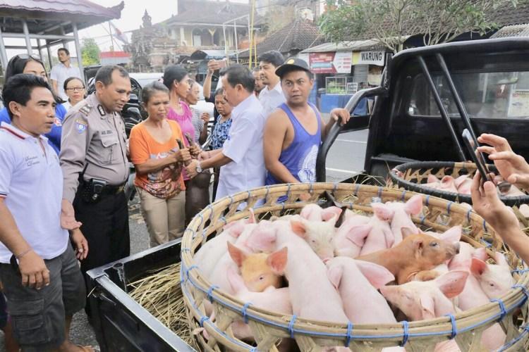 Pemkab Gianyar Gelontorkan 60 Ekor Bibit Babi