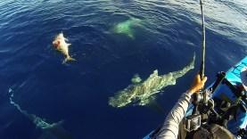 Kanoda harika bir balık yakaladınız ve köpek balıkları da bunun farkında!