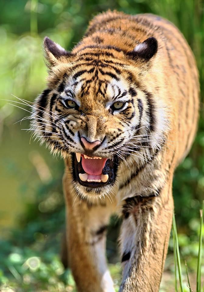 tigers animals bali safari