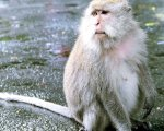 long tailed, macaque, alas kedaton, monkeys, forest, monkey forest, bali, places, places of interest, bali places of interest