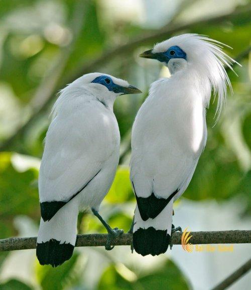 jalak bali, starling, bali, national, park, west bali, national park, bali national park, west bali national park, taman, taman nasional, taman nasional bali barat