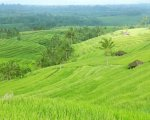 jatiluwih rice terrace, amazing view, bali rice field, bali rice terrace