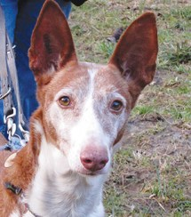 ALCYONEE : Femelle Podenca, cherche famille d'accueil, sans chat, stérilisée.