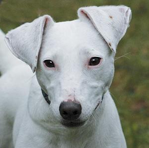 FERGIE : Femelle Jack Russel, stérilisée, sourde mais si attachante.