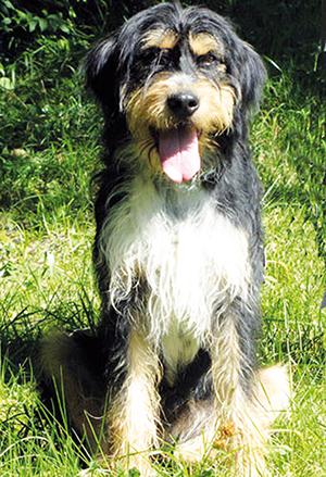 FERROL : mâle griffon 2 ans et demi, castré, excellent chien de compagnie