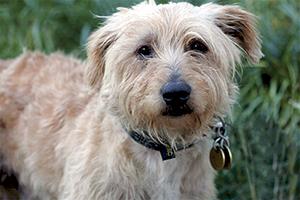 SNOOPY : Mâle croisé bichon castré, 8 ans, très bon chien de compagnie.