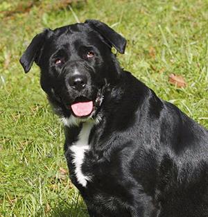 DAKOTA : Femelle Labrador stérilisée 2 ans, joueuse et très affectueuse.