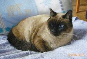 LEO : Mâle Siamois de 11 ans, amputé de la patte arrière gauche, OK chats.