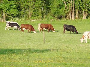 Ferme du marais vaches ballad et vous
