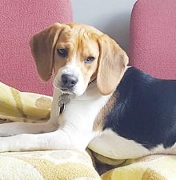 LIBERTY : Femelle Beagle 6 mois, stérilisée, tonique et vive.