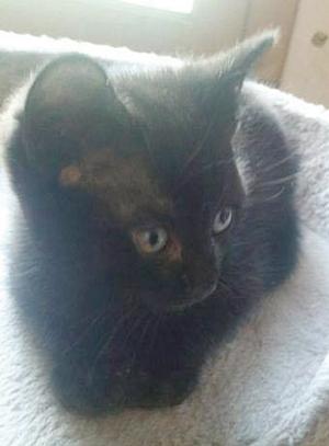 MALICE : Chaton mâle de 2 mois, très malicieux et très curieux.