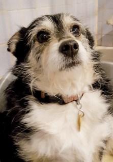 BABETTE : femelle Ratier 5 ans, stérilisée, excellente chienne de compagny.