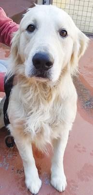 CALVI : Mâle Golden 10 ans, très bon chien de compagnie.