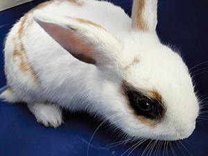 Nougat : Adorable petit lapin abandonné dans la rue sans défense.