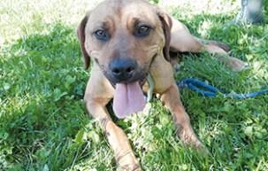 Peps : Jeune chienne croisée très dynamique et joueuse. A placer en maison avec un maître sportif.