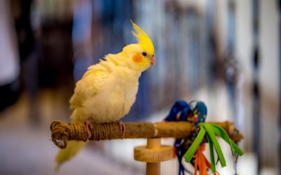 Sweet, Funny Gizmo:  We Never Thought We Could Love a Pet Bird This Much!!