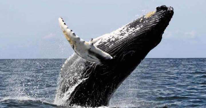Humpbacks Whales, Acrobatic and Powerful joyful giants
