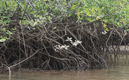 mangroves with flowers