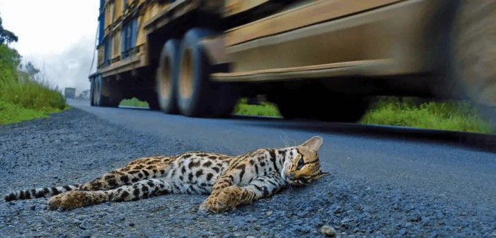 Slow down! Animals Crossing The Road -Osa,Costa Ballena- Ballena Tales