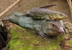 ¡No es un caimán sino un lagarto!